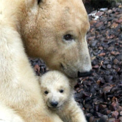 The Aalborg Zoo in Denmark welcomes a new polar bear club.