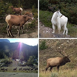 The ANIMALS in Jasper National Park, Alberta, Canda! We saw Rocky Mountain Bighorn Sheep (the horns!), Elk (unbelievable rack), Mountain Goats (babies!), Black Bears (cubs!), Canadian Geese, and some monster crows.