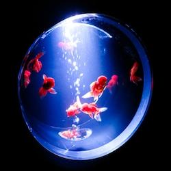 The Eco Edo Nihonbashi Art Aquarium has opened again in Tokyo for the summer, turning goldfish into spectacular art exhibits.