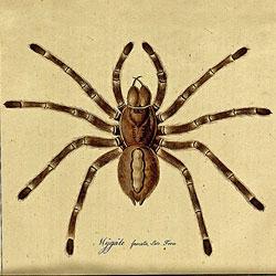 Monographie der Spinnen vom Carl Wilhelm Hahn.
