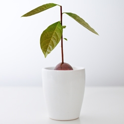 The Avocado Incubator by Andrew Mitchell is a pot specifically designed to look after your avocado seeds until they shoot. Just add water, a seed and patience.