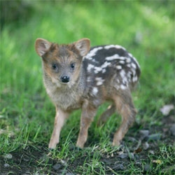 Ridiculously tiny baby pudu born at Belfast Zoo.