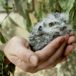 The Adelaide Zoo show off thier adorable baby frogmouth.