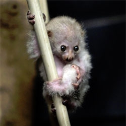 The Cincinnati Zoo welcomes a new baby potto.