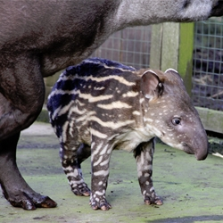 The Bristol Zoo just had a beautiful new baby tapir and I couldn't resist going to meet him.