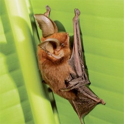 "Wow ~ National Geographic shows us that the ""Sucker-Footed Bat Hangs Upright Via Sweat, Not Suction"""