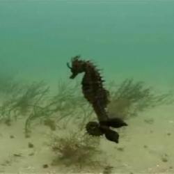 This poor seahorse seems to have been the victim of a confused cuttlefish. The cuttlefish has actually laid its eggs on this seahorse off the coast of Spain.
