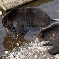 Fortress of the Bear - Sitka, Alaska - my dad sent some pics of the adorable Sitka browns (who were once polar bears? who were once browns?) from this awesome non profit.