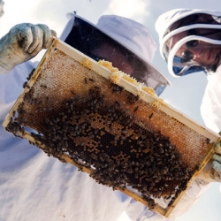 Urban bee keepers check on rooftop bees making honey for restaurants in Melbourne.
