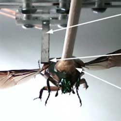 Researchers from University of Michigan harvest wing energy from a green june beetle to power its mind control circuitry.