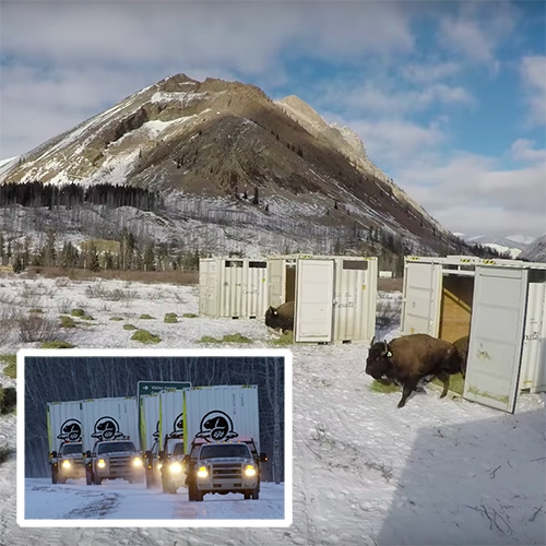 Bison successfully reintroduced to Banff National Park, Alberta, Canada for the first time in over a century! Loaded up into shipping containers, airlifted and trucked to Banff, and happily released!