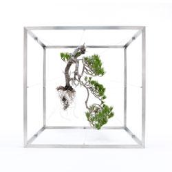 Makoto Azuma's beautiful uprooted bonsai.