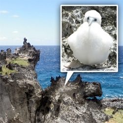 Amazingly fluffy teenage boobies on Christmas Island ~ also adorable adult ones, other crazy birds, and a stunningly jagged coastline!