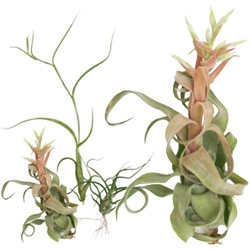 "trio of tillandsia bromeliads. these beautiful plants flower and do not require soil!!! Also for 4/15 only ~ 50% off at Doe-SF with ""taxdayblues09""!!!"