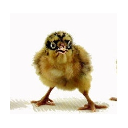 you can buy fancy designer baby chicks for about $2 each...this one looks like he's wearing a superhero mask! They are all so cute that you will start to think rasing a chicken in an nyc apartment is a good idea.