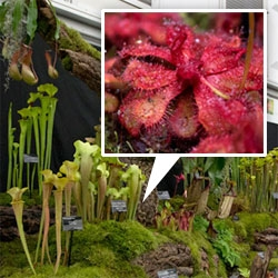 Impressive carnivorous plants on display at this year's RHS Chelsea Flower Show!