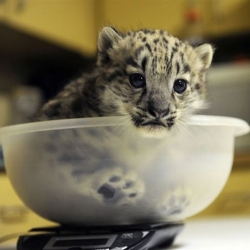 Chattanooga Zoo's new baby snow leopard cub.