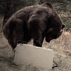 Grizzly Bear vs. YETI Cooler. Fun video, strangely beautiful and fascinating to watch.
