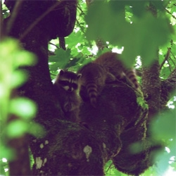 Fun peek at Modish's weekend backyard visitors - raccoons in the trees!