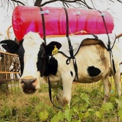 Burp-trapping bovine backpack? The methane collecting tanks were utilized by Argentina's National Institute for Agricultural Technology as part of a a study to determine the atmospheric impact of methane released by cows.