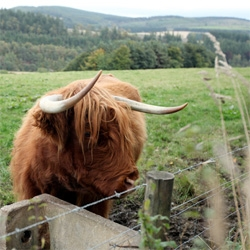 Scottish inspiration ~ Highland Cows. They are so amazing, smarter than your average cow, and incredible hair... see my some of the many highland cows i met!