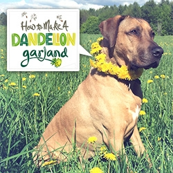 Natalya Zahn + Oscar teach us how to make Dandelion Garlands... for your dog... or you!