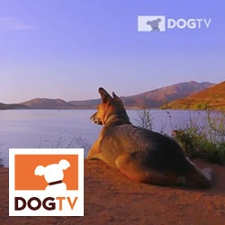 DogTV ~ it's a real thing. DirecTV, Cox, etc are even picking it up... and your dogs can also stream it online. Relaxation, Stimulation, and Exposure videos 24/7...