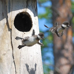 Amazing images of ducklings' first flight...