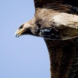Amazing video, an eagle with a camera on her neck show us the spin attack; the last  minute is  awesome!