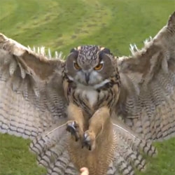 Stunning video of an eagleowl in flight at 1000 frames per second.