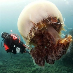 A gallery featuring the Nomura jellyfish, most commonly found in the waters of China and Korea