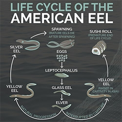 """The Eel World: Inside Maine's Wild Elver Turf War"" ~ fascinating look into the world of eels... and nice graphics by Justine Zwiebel."