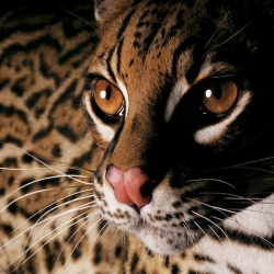 National Geographic photographer Joel Sartore records North American species facing extinction in his latest book, Rare: Portraits of America's Endangered Species. A beautiful book filled with tragic stories.