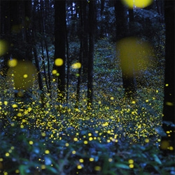 Fun time lapse pics of fireflies!