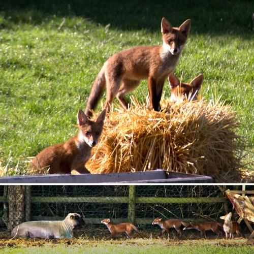A family of foxes frolicking at Mudchute Park & Farm in London. Lots of pics and video as they run around the farm and even play with the sheep!