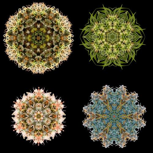 """Humboldt Seed Organisation Mandalas """"Humboldt Seeds Fractals"""""""