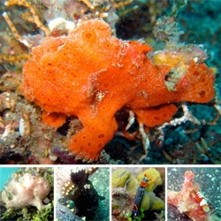 Frogfish ~ related to anglerfish, but with crazier camo-colours and the most adorably awesome elbows and arm/fins... also a peek at some stunning nudibranchs, and a few other Lembeh Strait creatures i found!