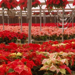 photographs of poinsettia greenhouses outside of austin in seguin, texas. really beautiful, and neat to see the nurseries getting ready for the holidays