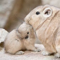 Baby Gundi (a small North African rodent) at the Artis Zoo in Amsterdam. Such a cute, but bizarre looking animal!