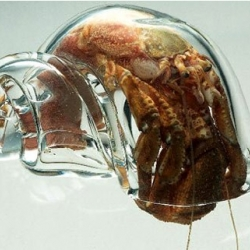 Marine Biologists in Portobello, New Zealand have had hand-blown glass shells made to help study the life of hermit crabs. Ever wonder what they looked like inside their home?