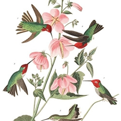 John James Audubon's Birds of America was printed between 1827 and 1838 and it contains 435 life-sized watercolours of North American birds (Havell edition), all reproduced from hand-engraved plates. Now all available in the Audubon Digital Library!