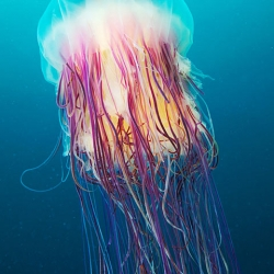 Incredible Photographs of Jellyfish by Alexander Semenov.