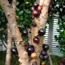 Take a look at the Jabuticaba.  This bizarre tree grows it fruit straight off its trunk.  Cool but weird!