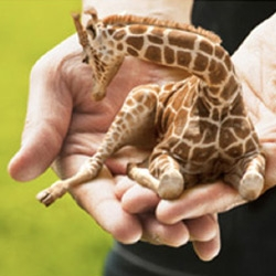 Petite Lap Giraffes!!! DirecTV's hilariously absurd ads have spawned a website of their own just for the adorable giraffe pets... see the vids and more pics!