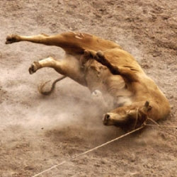 Interesting look at the rodeo ... and the confrontation between man and beast.