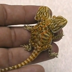 Our first real pet was a Bearded Dragon ~ unbelievable to see this 2 headed 6 legged Bearded Dragon baby! (Video!)