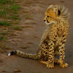 Baby cheetah with a mohawk! Justinsomnia goes on safari at Maasai Mara.