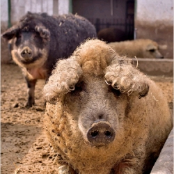 Now that succulent pork is back in fashion, the Mangalitsa — saved from near extinction on a farm here at the edge of Hungary's bleak and barren Great Plain — are making a comeback.