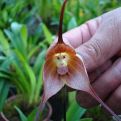 This rare plant from the cloud forests of Ecuador is called the Monkey Orchid. One guess why!