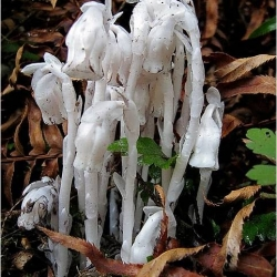 They lack chlorophyll and do not photosynthesize but the mycotroph family of plants manages to survive.  They may look like a something from another planet, but are very much of this earth.